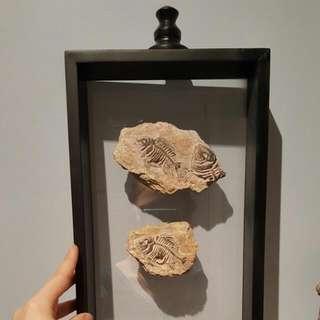 Fish Fossils Replica