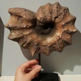 Ammonite Fossil Replica