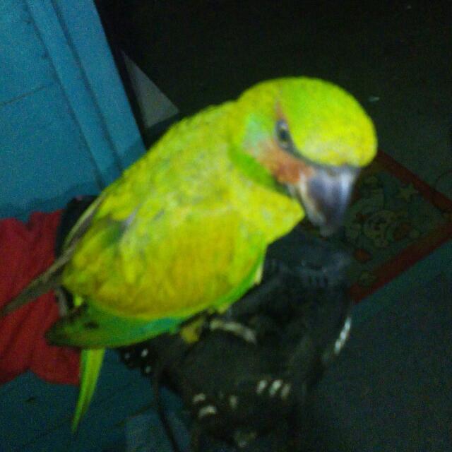 Burung Betet Ekor Panjang Barang Yang Dicari Di Carousell