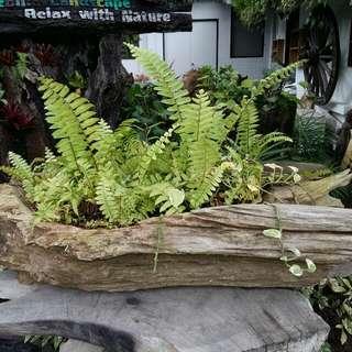 Plant in teakwood Planter