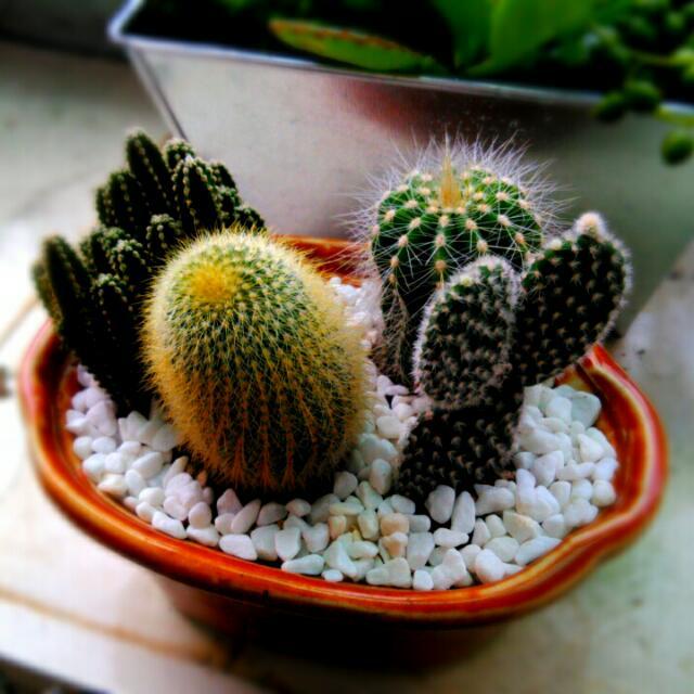仙人掌盆景,四種仙人掌,適合送禮,窯燒釉彩花盆