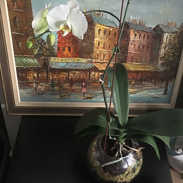 Phaelonopsis orchid
