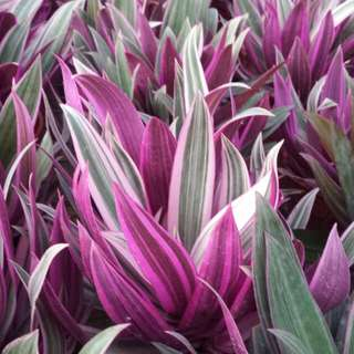 Herb Plant - Purple Salsify/Oyster Plant 🌌🌿