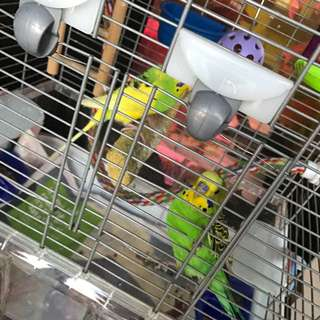 Budgie's And Cage