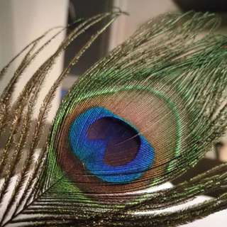 Shamrock Craft Peacock Eyes Feather
