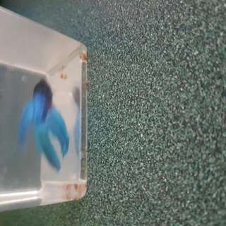 Blue Small Fish Received As A Gift Yesterday But Don't Want It