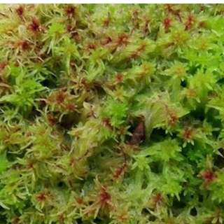 Rare Red live sphagnum in 4 x 6 ziplog bag.