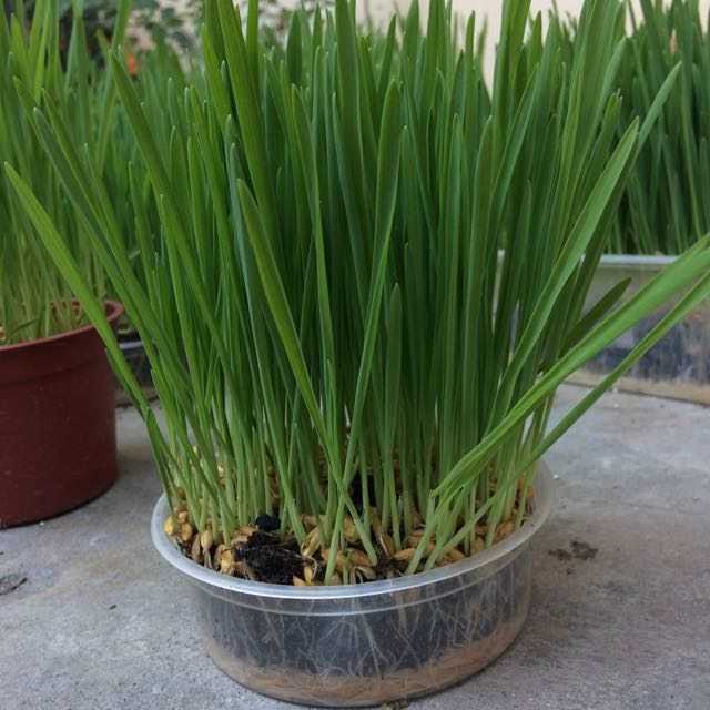Potted Cat Grass
