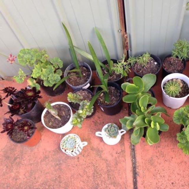 Mix plats clivias, cucculent geranium