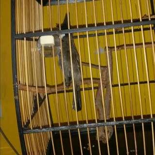 jambol cage