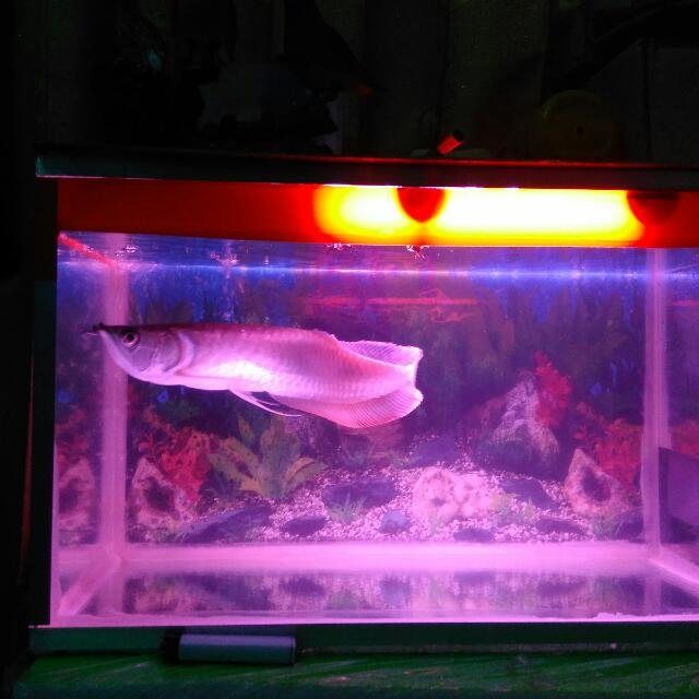 Ikan Arwana Silver Brazil Aquarium Dan Mesin Dan Lampu