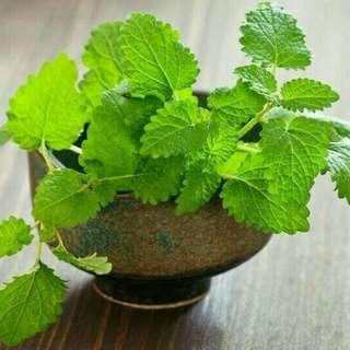 Tanaman Herbal Pepermint