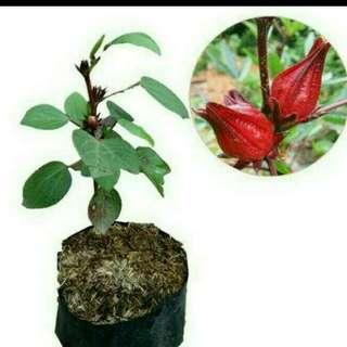 Tanaman Herbal Rosela