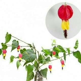Tanaman Rambat Bunga Cherrybelle / Bunga Lampion