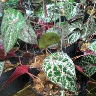 Tanaman Herbal Sirih Merah