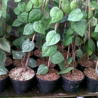 Tanaman Herbal Sirih Hijau