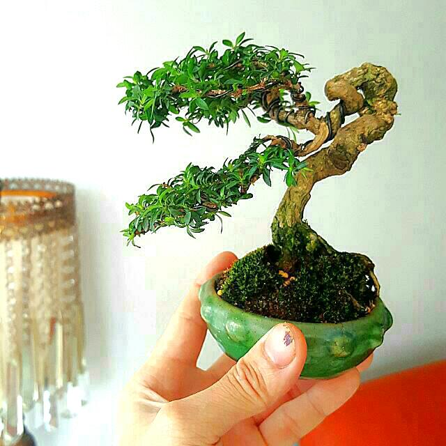 Shohin Size Bonsai Gardening On Carousell