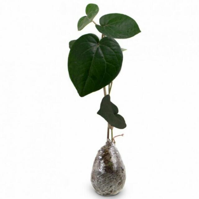 Tanaman Herbal Sirih Hitam