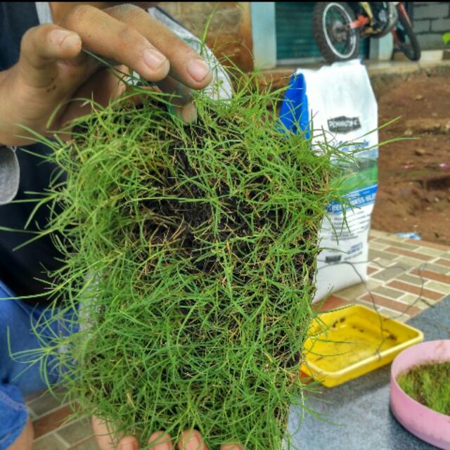 BibitBunga com Source · Benih Biji Rumput Bermuda Grass Seed .