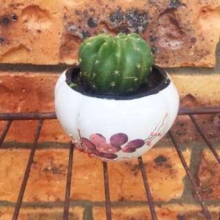 REAL Cactus In Round Floral Ceramic Pot