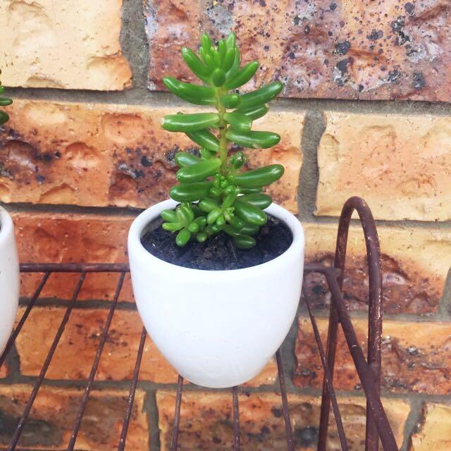 REAL succulent In Ceramic Pot