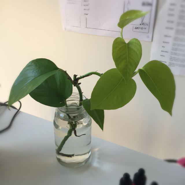 Money Plant (Devil's Ivy)