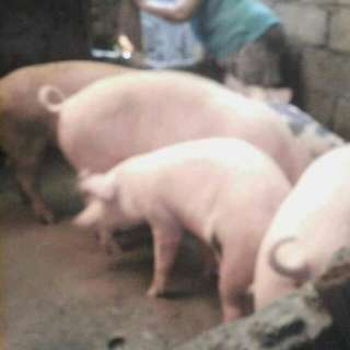 House Manila Part  Perfect For Piggery Business