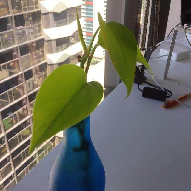Money Plant (Devils Ivy)