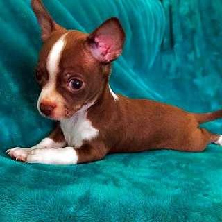 Nirechi Chihuahua Pedigree Chihuahuas