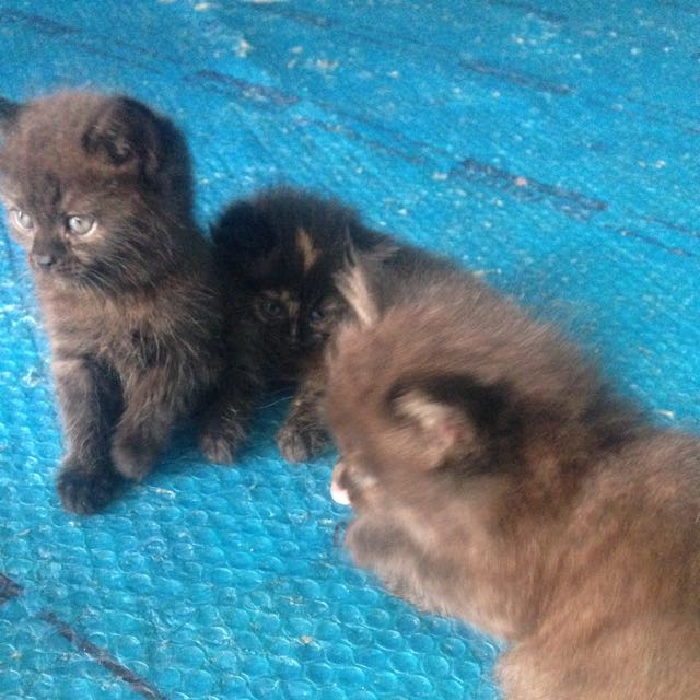 Anakan Kucing Himalaya Dgn British Short Hair