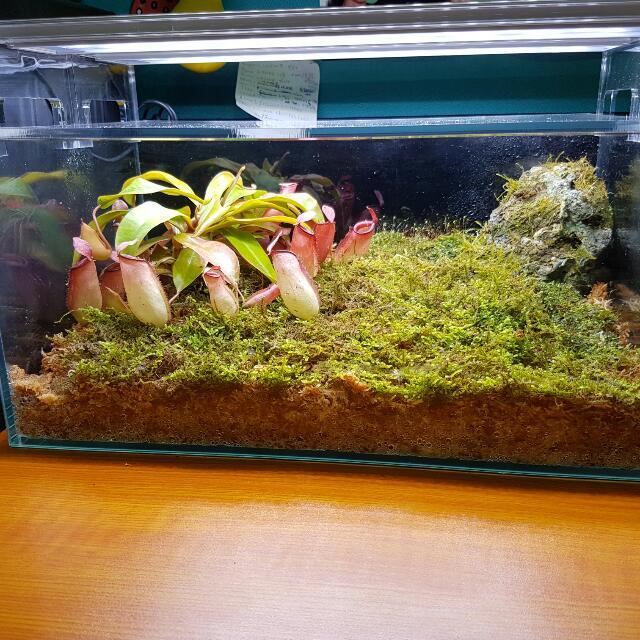 Carnivorous Plants Terrarium Setup Gardening On Carousell