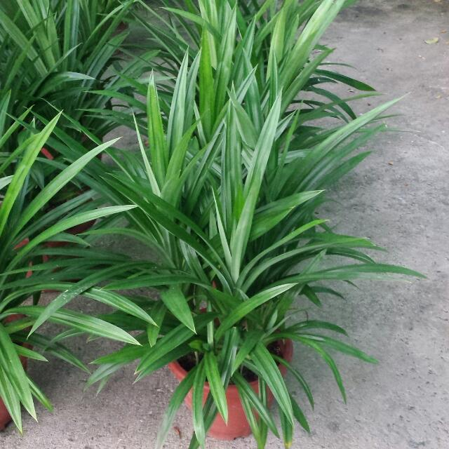 Herb Plant - Pandan Leaves 🌿 ($10.90/$20)