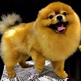 Pomeranian STUD SON OF PHIL CHAMP