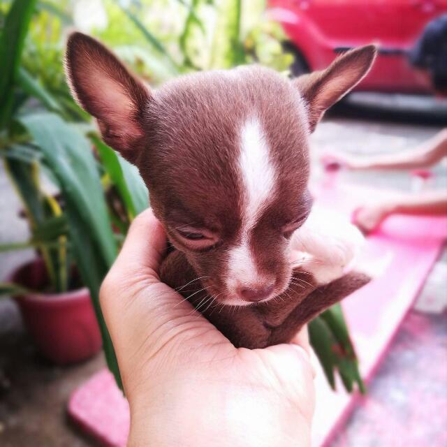 Pure Chihuahua