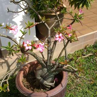 Desert Rose Adenium Arabicum Seeds/ Fu Gui Hua-Prosperity Flower Seeds.
