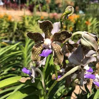 "Fragrant Vanda Orchid ""Chocolate Mountain"""