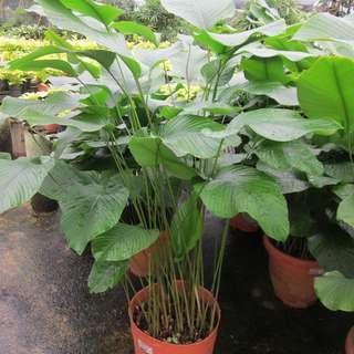 Thaumatococcus (Indoor Plant)