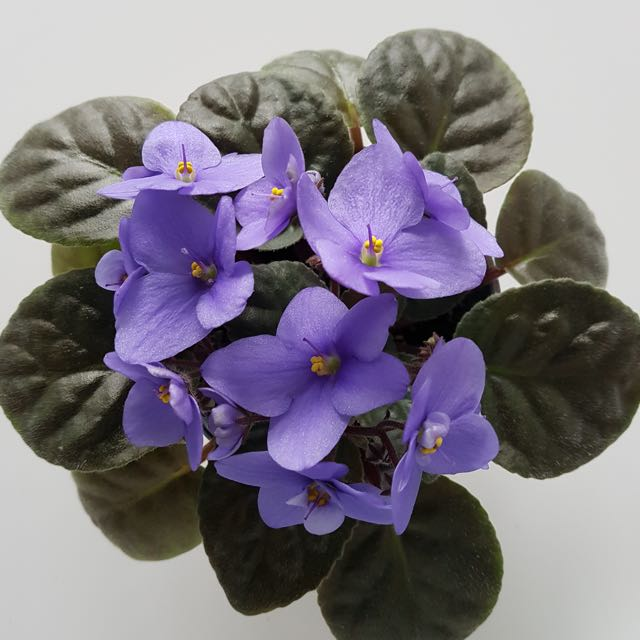 African Violet Plant (lilac)