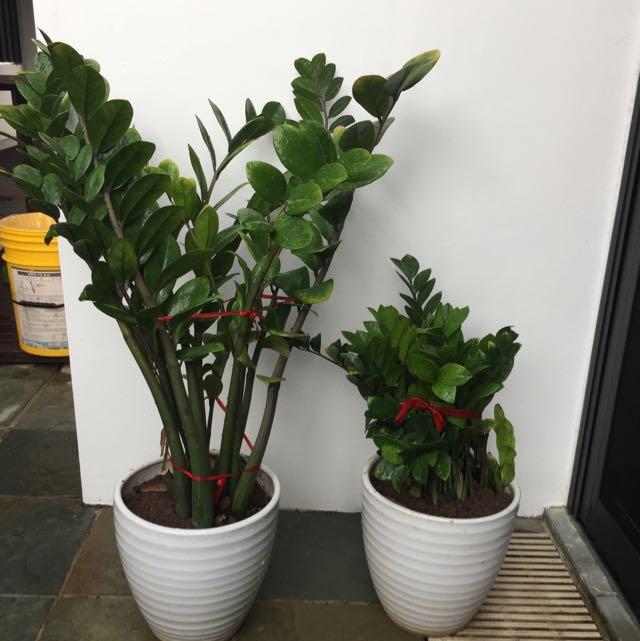 Plants For Sale Zamioculcas Zamifolia Money Tree Plant
