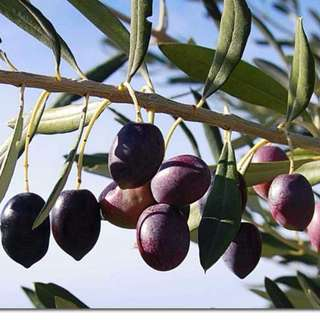 OLIVES fresh raw soon
