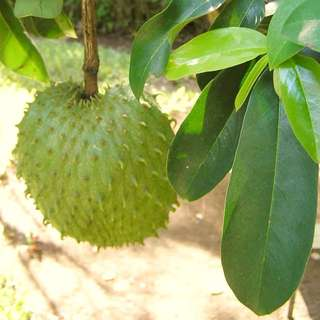 Soursop Tree Potted