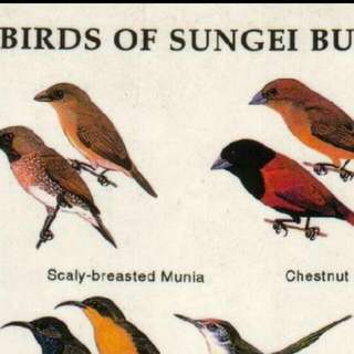 LOOKING FOR: Birds Of Sungei Buloh Poster