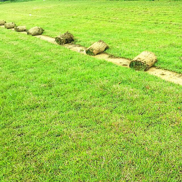 【假儉草】草坪,園藝,庭園景觀,綠化,美化環境,【非地毯草,台北草,韓國草,百慕達草】單價為一坪