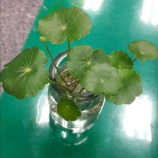 銅錢草盆栽