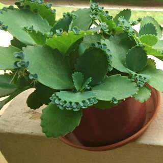 @kalanchoe-,mother Of Thousands PlanTlets Babies For Sale $2