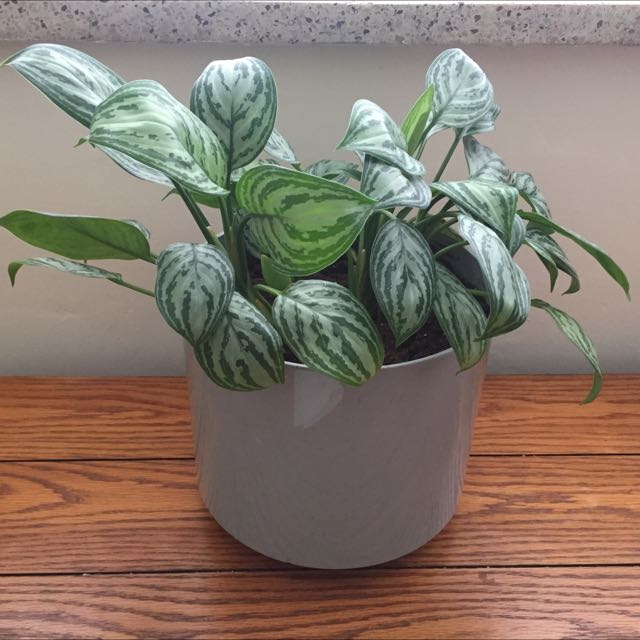 Indoor Tropical Plant
