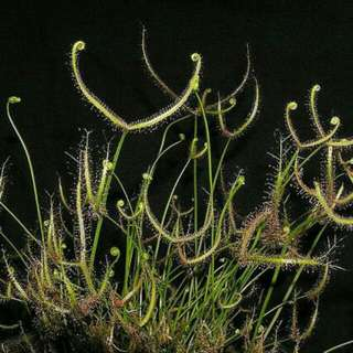 Young Drosera Binata For Sale Carnivorous Plant Each Individual Plant For 15 Dollars