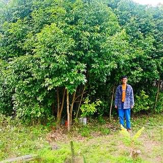 🚚 柳樹 肉桂 樹 特價 限量 獨家 盆栽 園藝 造景
