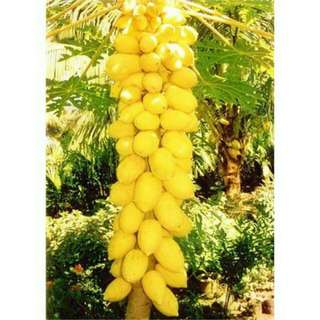 Biji benih bibit tanaman buah pepaya golden 50 butir