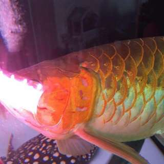 Tanning Fish Tank Led UVA UVB led TANNING Light!!!  BRAND NEW and VERY EFFECTIVE!!! White For Ray and Red For Red Arowana!!! BRAND NEW!!! c/w 6 Months Warranty!!!  White Uva Uvb To Tan BD RAY!!!